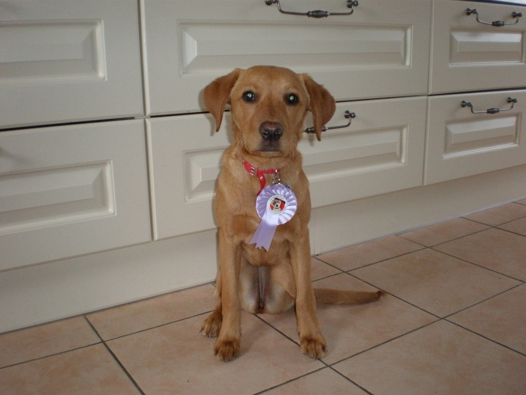 Ahh.. and here is the gorgeous Polo proudly wearing her Kennel Club Puppy Foundation rosette, the first of many for sure. Well done Polo and mummy Becky