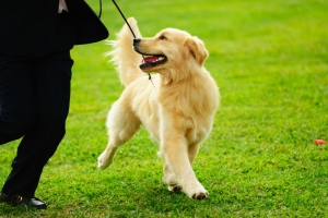Golden Retriever walking to heel